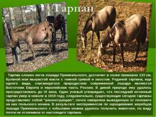 Тарпан сложен легче лошади Пржевальского, достигает в холке примерно 133 см,