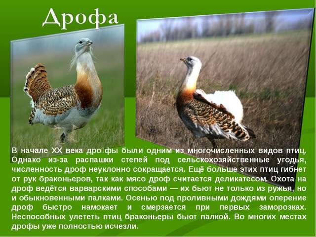 В начале XX века дро́фы были одним из многочисленных видов птиц. Однако из-за...