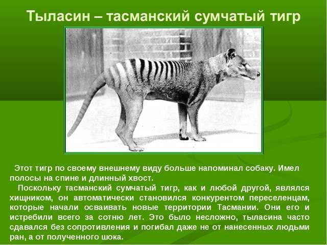 Этот тигр по своему внешнему виду больше напоминал собаку. Имел полосы на сп...