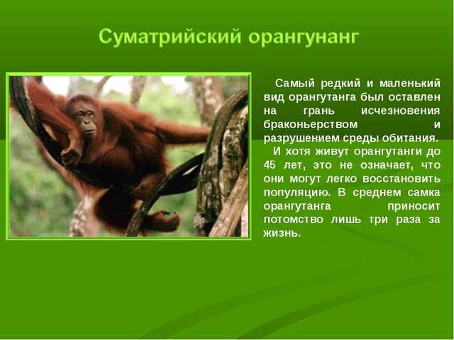 Самый редкий и маленький вид орангутанга был оставлен на грань исчезновения...