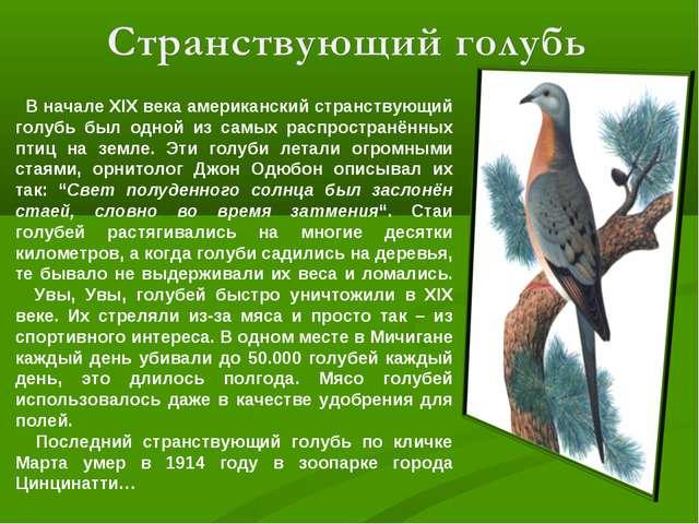 В начале XIX века американский странствующий голубь был одной из самых распр...