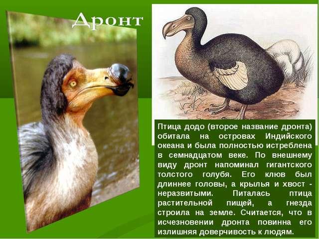 Птица додо (второе название дронта) обитала на островах Индийского океана и б...