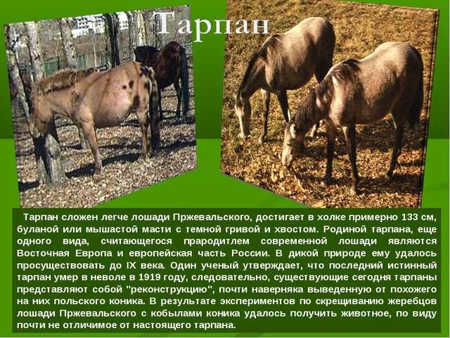 Тарпан сложен легче лошади Пржевальского, достигает в холке примерно 133 см,...