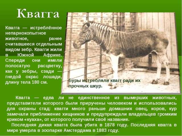 Квагга — истреблённое непарнокопытное животное, ранее считавшееся отдельным в...