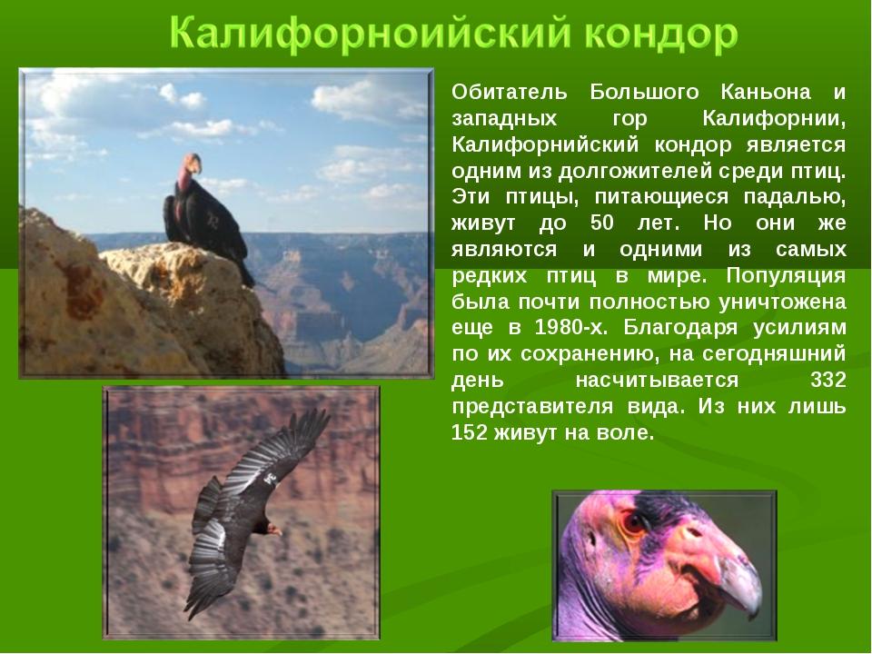 Обитатель Большого Каньона и западных гор Калифорнии, Калифорнийский кондор я...