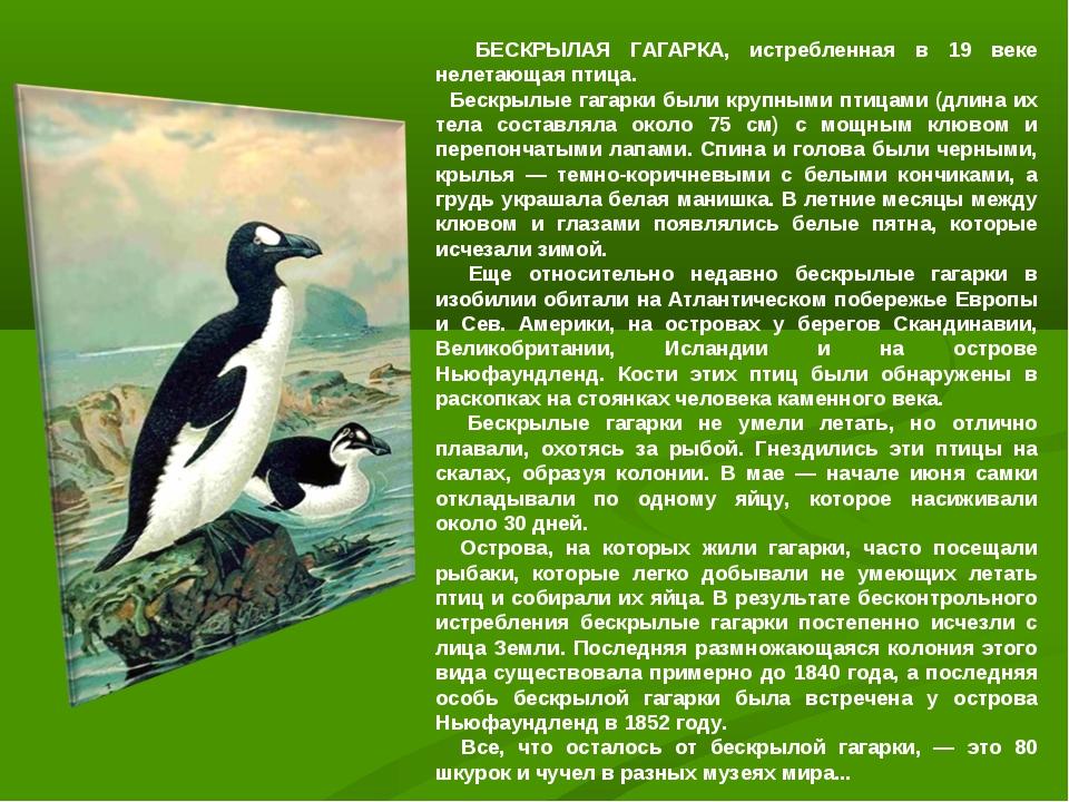 БЕСКРЫЛАЯ ГАГАРКА, истребленная в 19 веке нелетающая птица. Бескрылые гагарк...