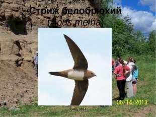 Стриж белобрюхий (Apus melba) Очёр, 2014 Очёр, 2014