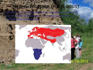 Черный стриж (Apus apus) Обитает в средней Европе, в северной и средней частя