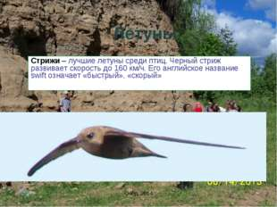 Летуны Стрижи – лучшие летуны среди птиц. Черный стриж развивает скорость до