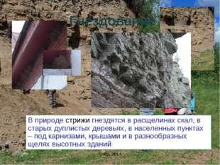 Гнездование В природе стрижи гнездятся в расщелинах скал, в старых дуплистых