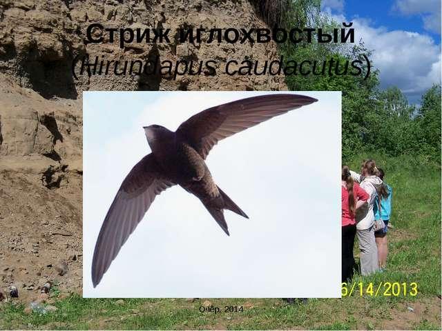 Стриж иглохвостый (Hirundapus caudacutus) Очёр, 2014 Очёр, 2014