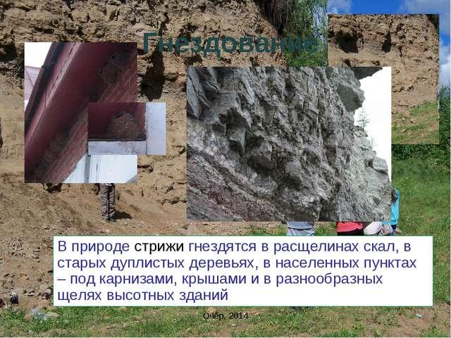 Гнездование В природе стрижи гнездятся в расщелинах скал, в старых дуплистых...