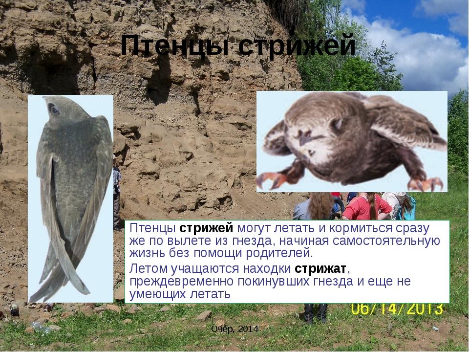 Птенцы стрижей Птенцы стрижей могут летать и кормиться сразу же по вылете из...
