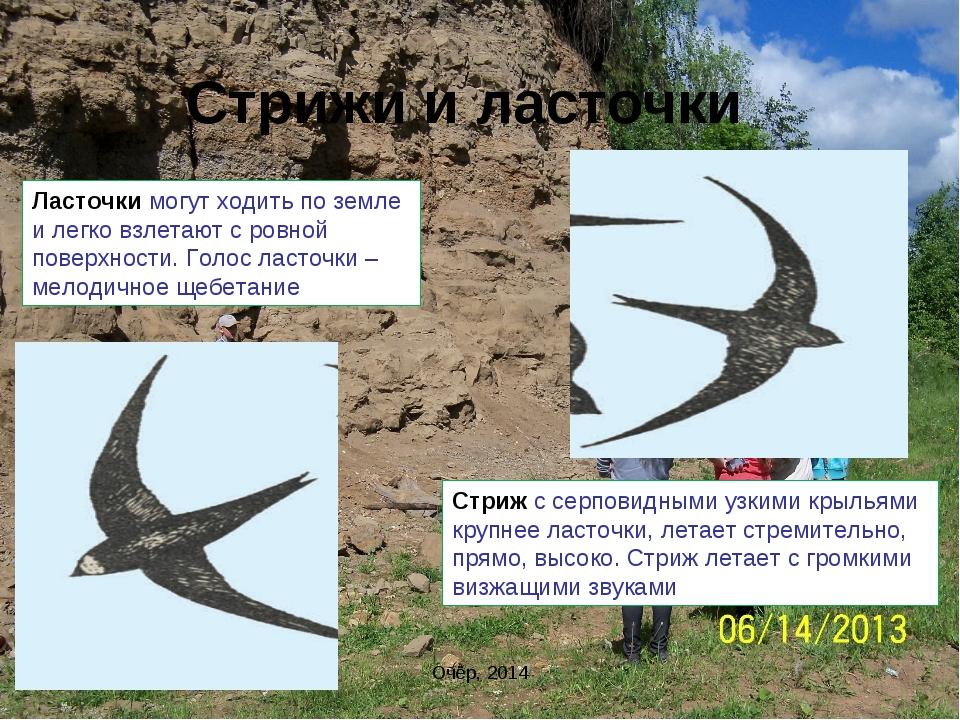 Стрижи и ласточки Очёр, 2014 Ласточки могут ходить по земле и легко взлетают...