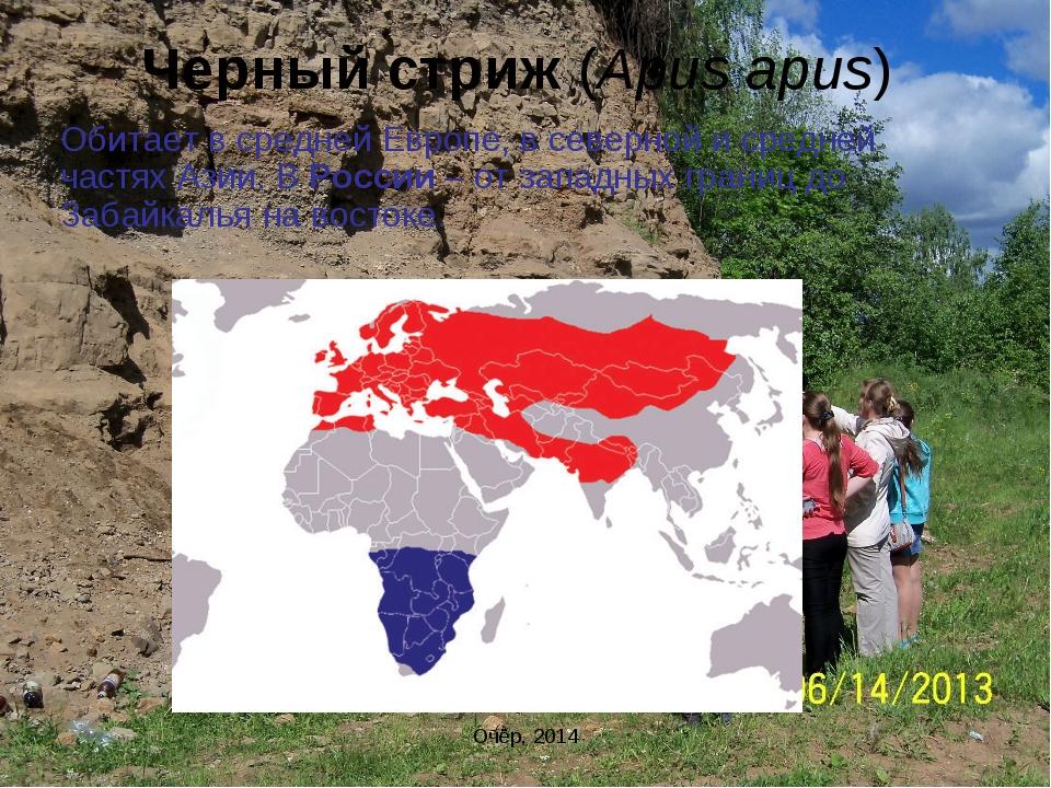 Черный стриж (Apus apus) Обитает в средней Европе, в северной и средней частя...