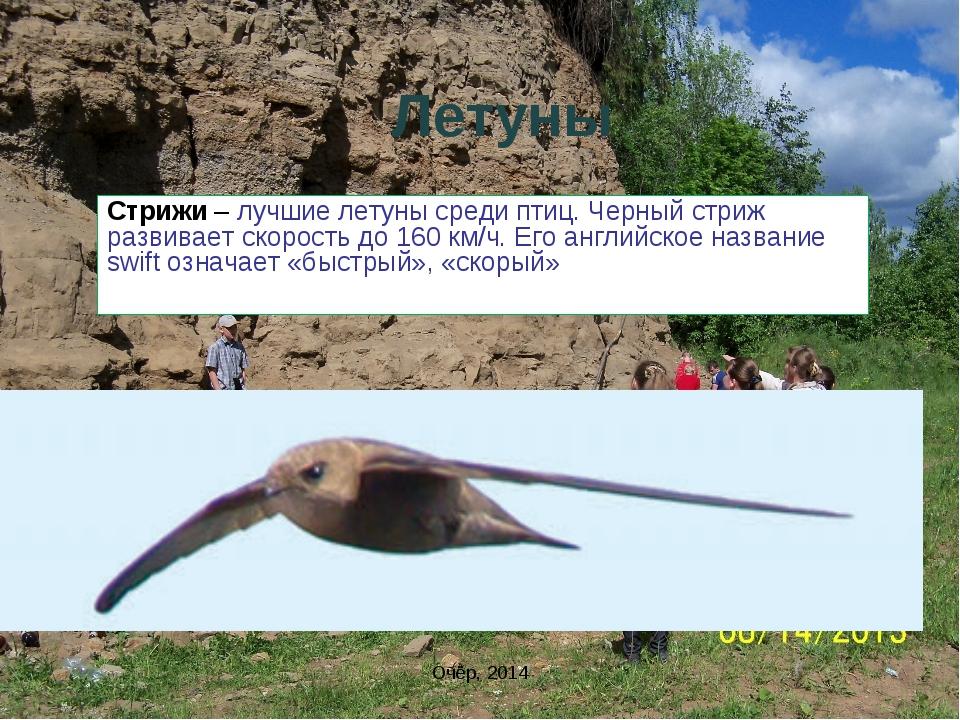 Летуны Стрижи – лучшие летуны среди птиц. Черный стриж развивает скорость до...