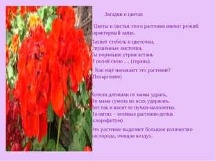 . Цветы и листья этого растения имеют резкий характерный запах. Пахнет стебе