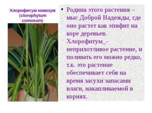 Хлорофитум комозум (clorophytum comosum) Родина этого растения –мыс Доброй На