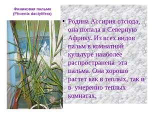 Финиковая пальма (Phoenix dactylifera) Родина Ассирия отсюда, она попала в Се
