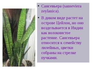 @Щучий хвост» в цветочном горшке Сансевьера (sanseviera zeylanica). В диком в