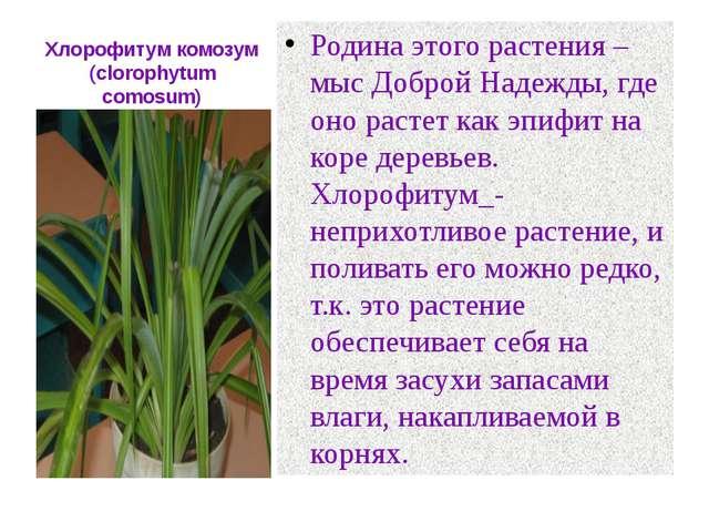 Хлорофитум комозум (clorophytum comosum) Родина этого растения –мыс Доброй На...