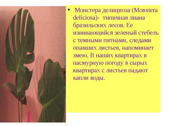 «Плакса» из лесов Амазонки Монстера делициоза (Monstera deliciosa)- типичная...