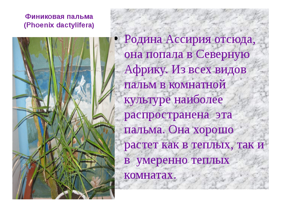 Финиковая пальма (Phoenix dactylifera) Родина Ассирия отсюда, она попала в Се...