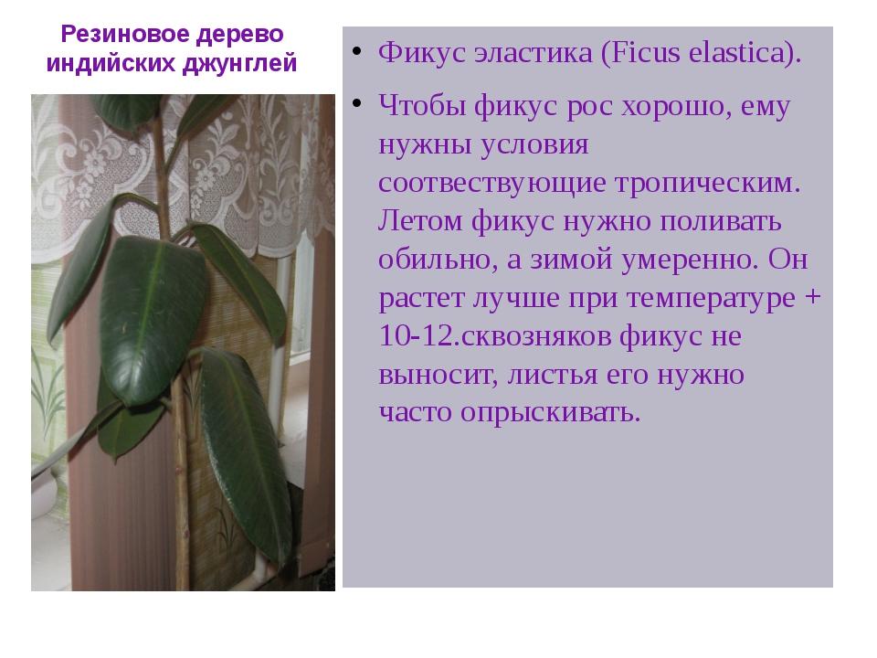 Резиновое дерево индийских джунглей Фикус эластика (Ficus elastica). Чтобы фи...