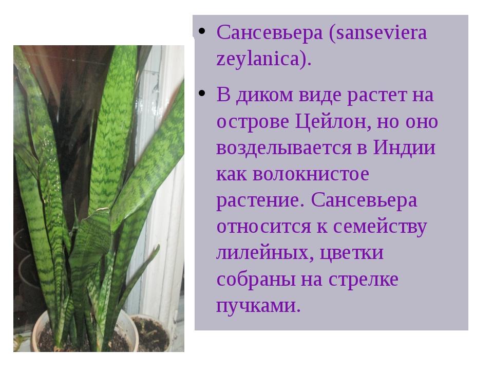 @Щучий хвост» в цветочном горшке Сансевьера (sanseviera zeylanica). В диком в...