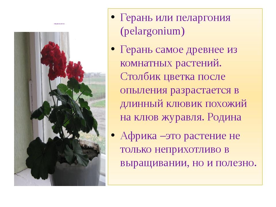 «Журавлиный нос» Герань или пеларгония (pelargonium) Герань самое древнее из...