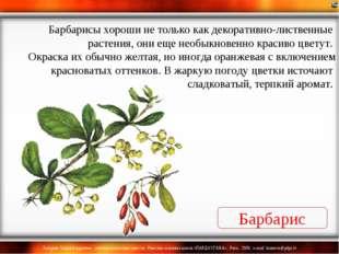 Барбарис Барбарисы хороши не только как декоративно-лиственные растения, они