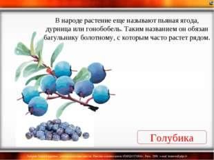 Голубика В народе растение еще называют пьяная ягода, дурница или гонобобель.