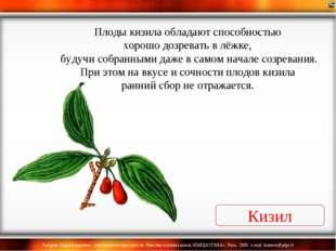 Кизил Плоды кизила обладают способностью хорошо дозревать в лёжке, будучи соб
