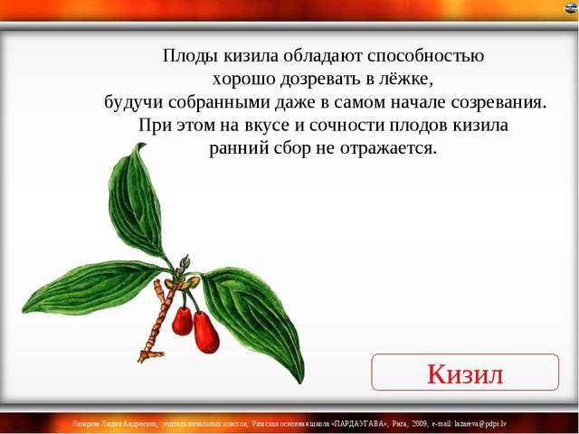 Кизил Плоды кизила обладают способностью хорошо дозревать в лёжке, будучи соб...