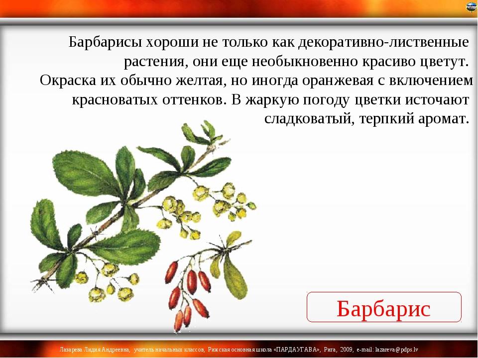 Барбарис Барбарисы хороши не только как декоративно-лиственные растения, они...