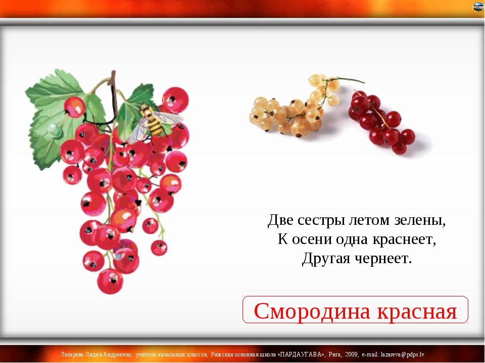 Смородина красная Две сестры летом зелены, К осени одна краснеет, Другая черн...