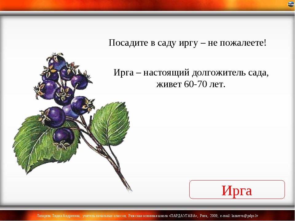 Ирга Ирга – настоящий долгожитель сада, живет 60-70 лет. Посадите в саду иргу...