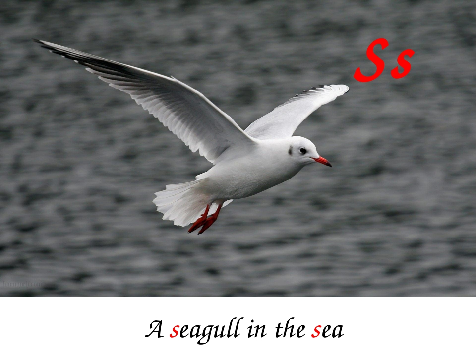 Ss A seagull in the sea
