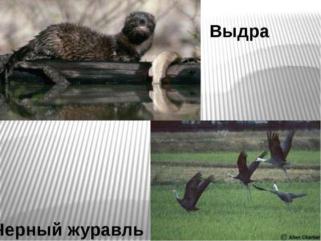 Выдра Черный журавль
