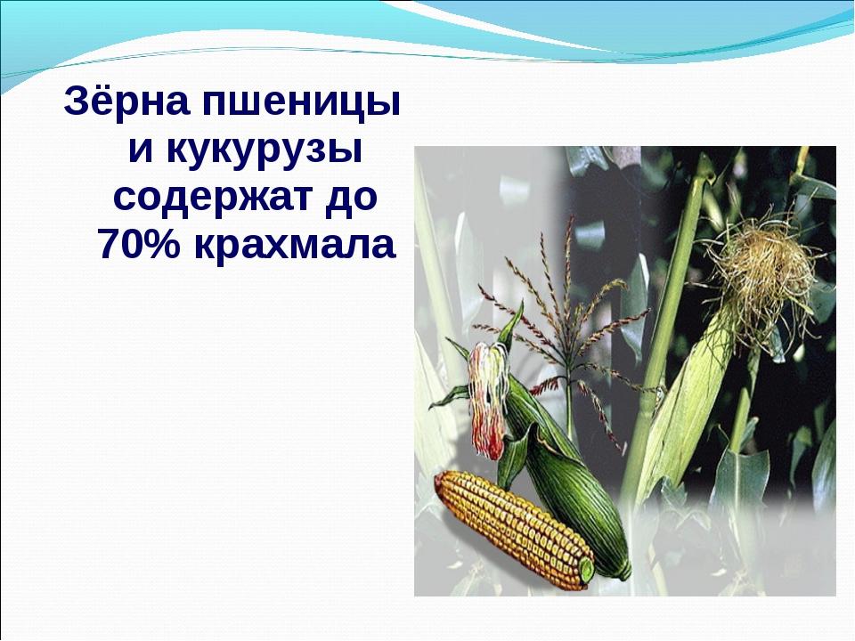 Зёрна пшеницы и кукурузы содержат до 70% крахмала