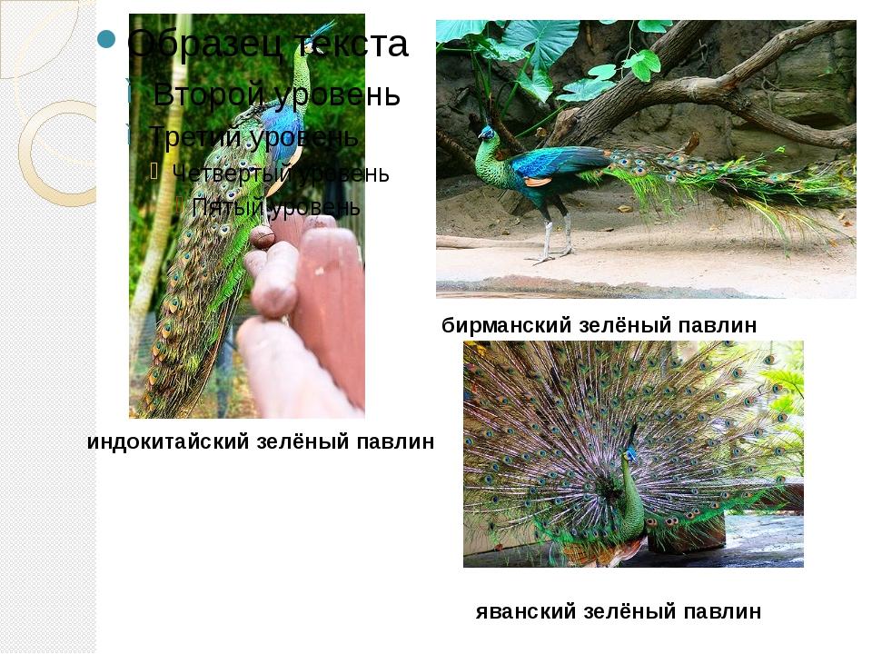 индокитайский зелёный павлин бирманский зелёный павлин яванский зелёный павлин