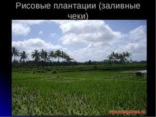 Рисовые плантации (заливные чеки)