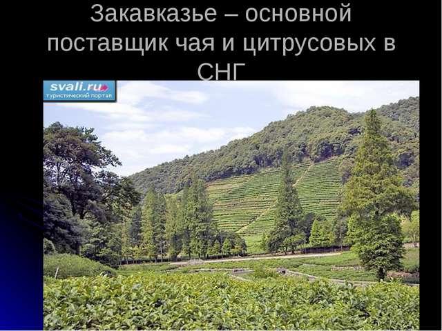 Закавказье – основной поставщик чая и цитрусовых в СНГ