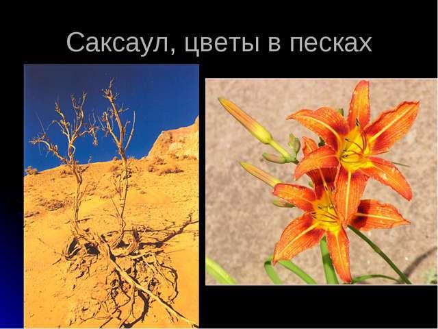 Саксаул, цветы в песках