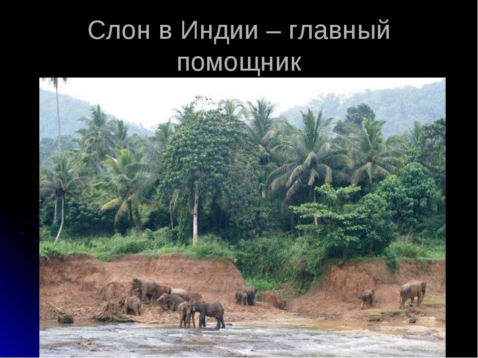 Слон в Индии – главный помощник