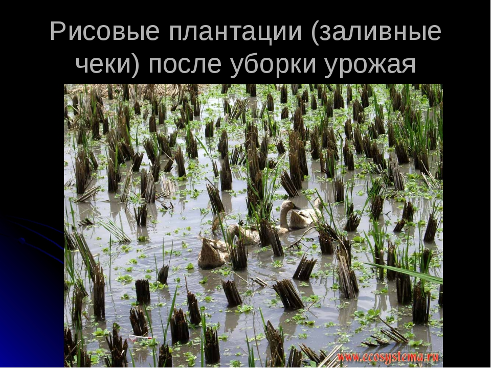 Рисовые плантации (заливные чеки) после уборки урожая