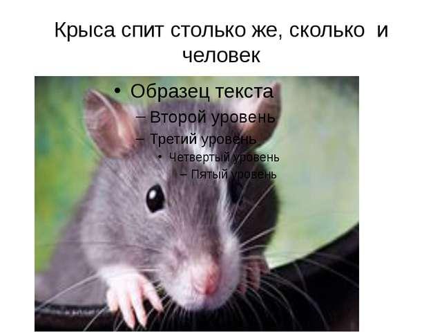 Крыса спит столько же, сколько и человек