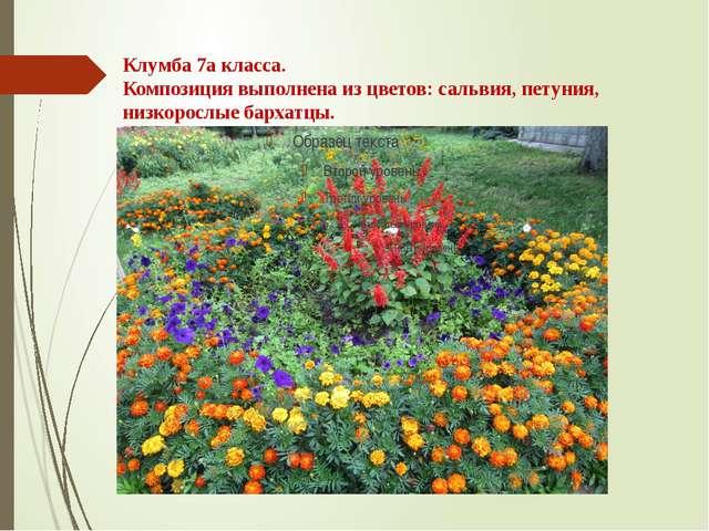 Клумба 7а класса. Композиция выполнена из цветов: сальвия, петуния, низкоросл...