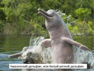 Амазонский дельфин, или белый речной дельфин.