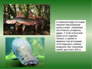 в Амазонке водится самая крупная пресноводная рыба в мире - Арапайма или Pira